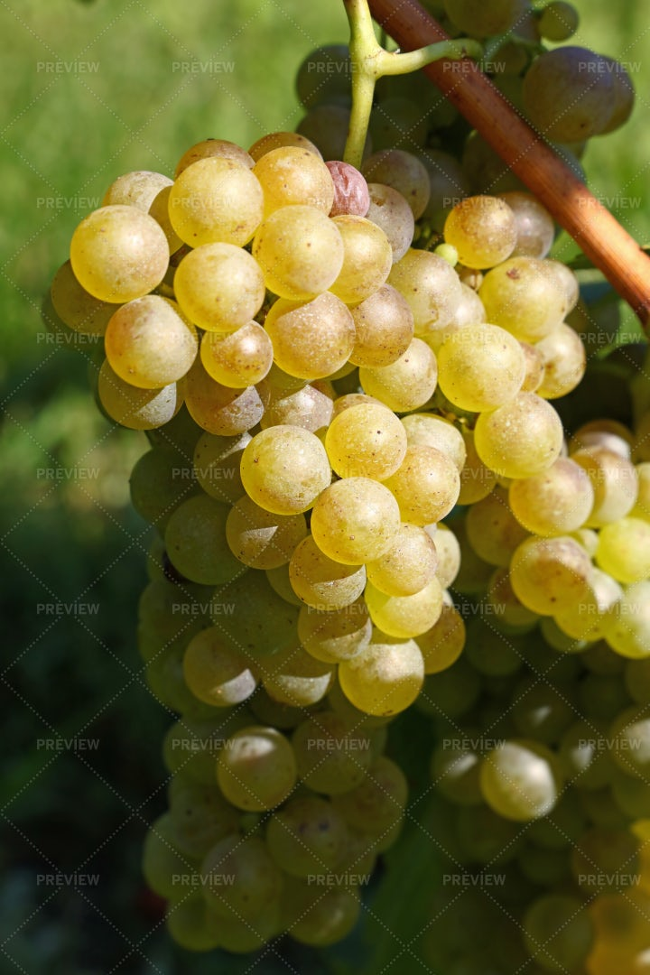 Bunch Of Hanging White Grapes: Stock Photos