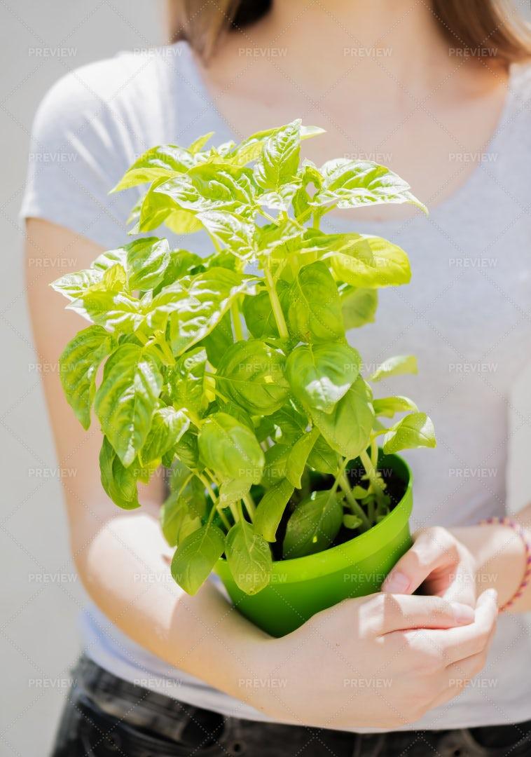 Pot With Fresh Basil: Stock Photos
