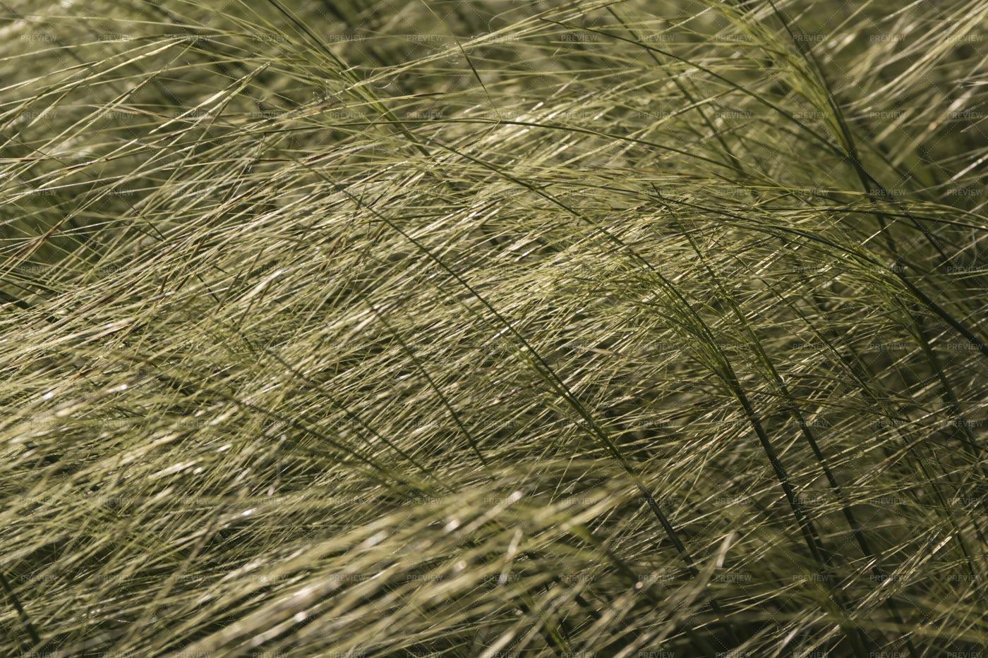 Feather Grass: Stock Photos