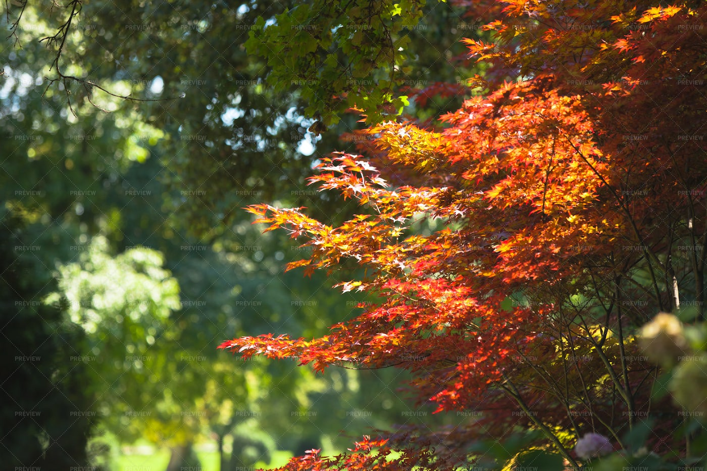 Japanese Red Maple: Stock Photos
