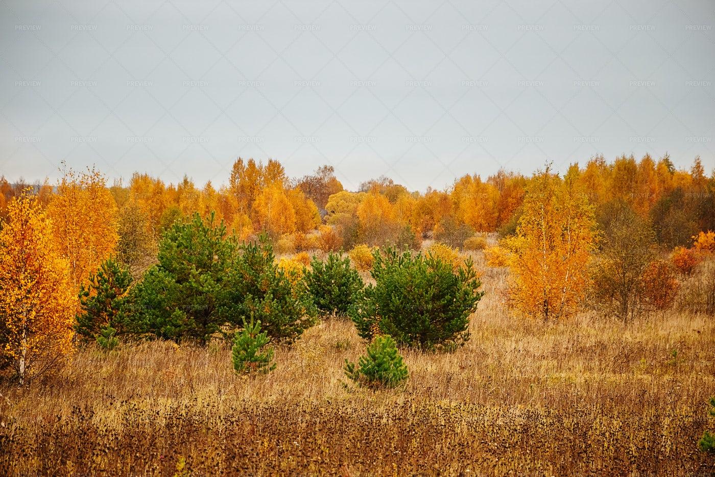 A Yellow Autumn Forest: Stock Photos