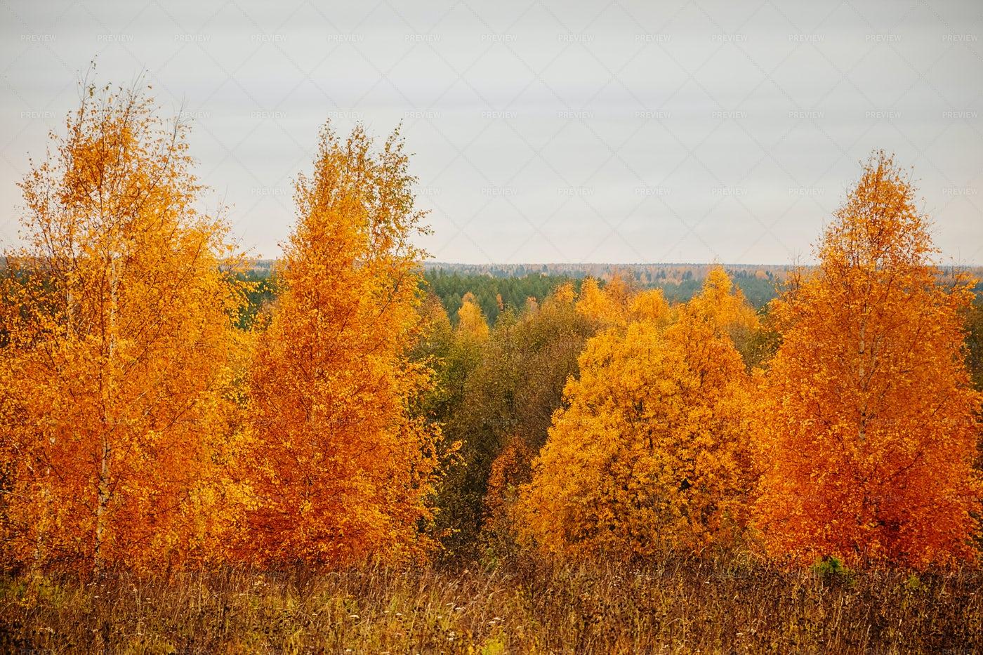 Bright Yellow Autumn Forest: Stock Photos