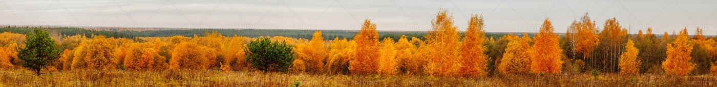 Panorama Of Yellow Trees: Stock Photos