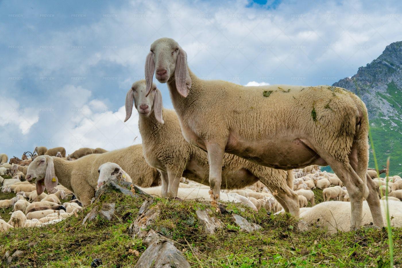 Sheep Grazing: Stock Photos