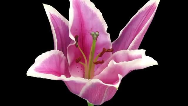 A Pink Lily Flower Opening : Stock Video