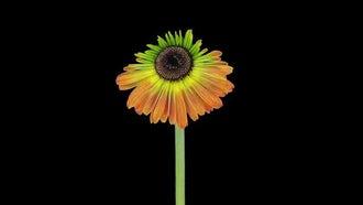 Growing And Opening Gerbera Flower: Stock Video