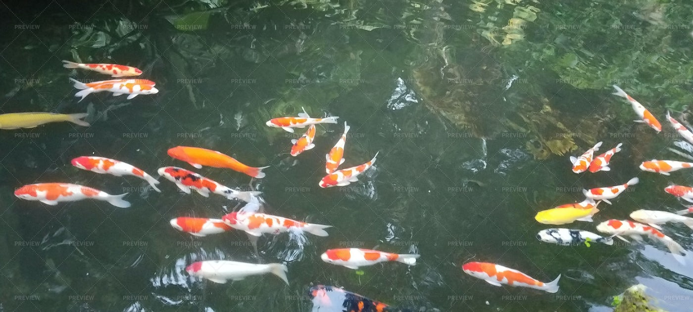 Koi Fish Pond: Stock Photos