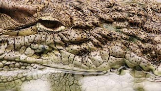 Extreme Close-up Of Mature Crocodile : Stock Video
