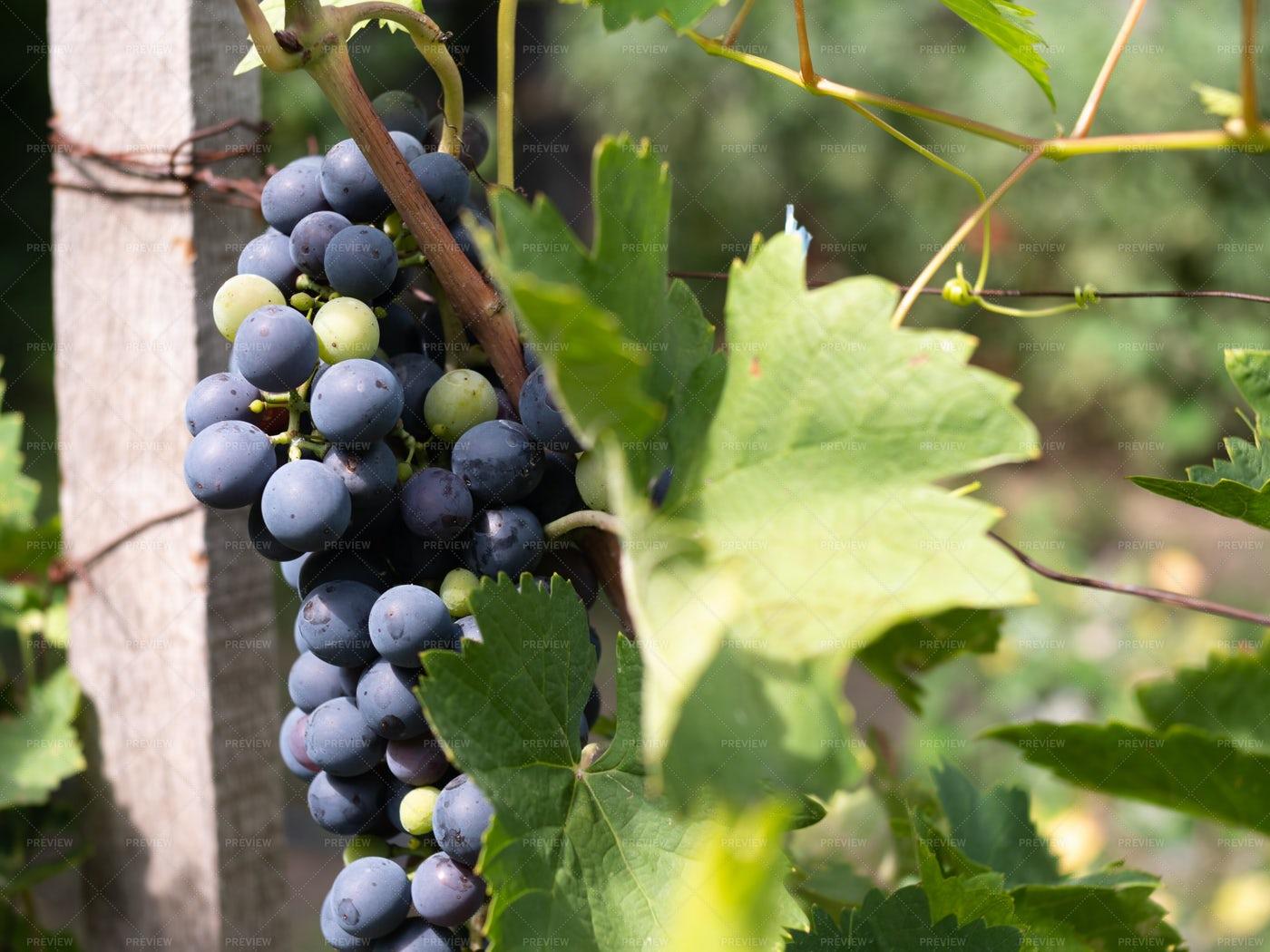 Vineyard: Stock Photos