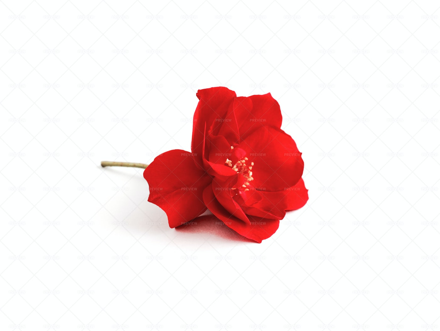 Red Rose: Stock Photos