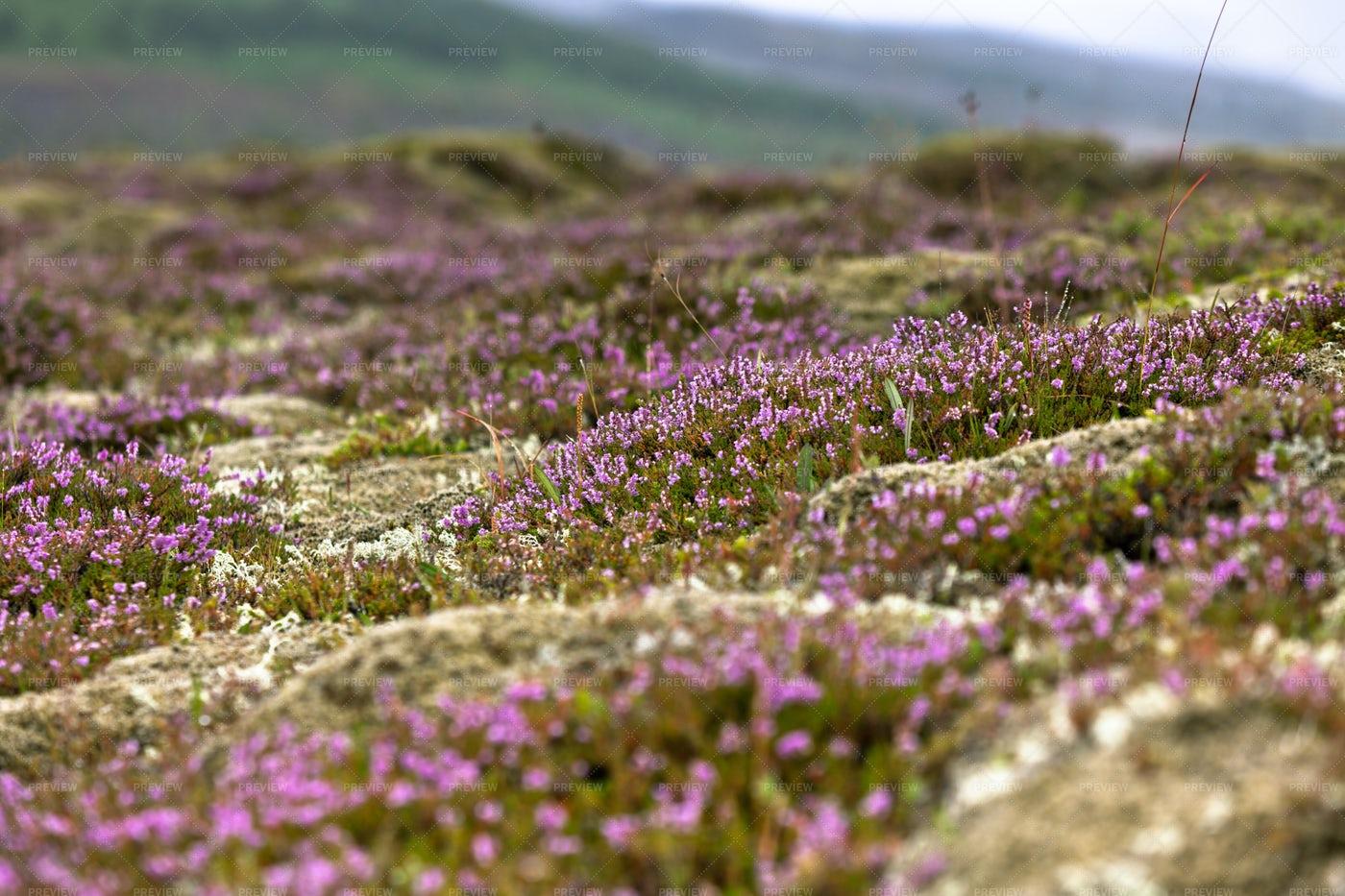 Blooming Moss: Stock Photos