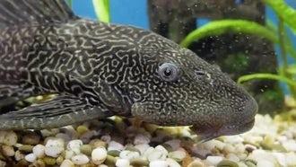 Black Fish In Aquarium: Stock Video