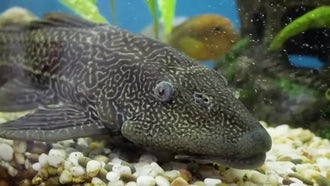 Janitor Fish: Stock Video