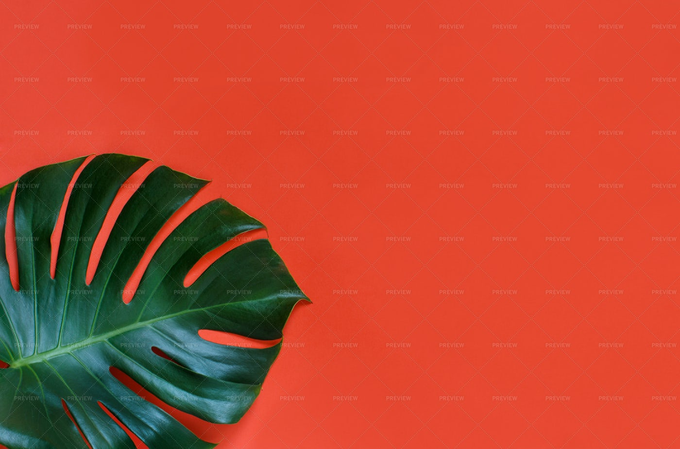 Monstera Leaf On Red: Stock Photos