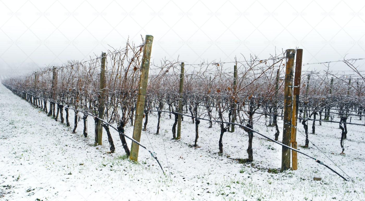 Winter Vineyard: Stock Photos