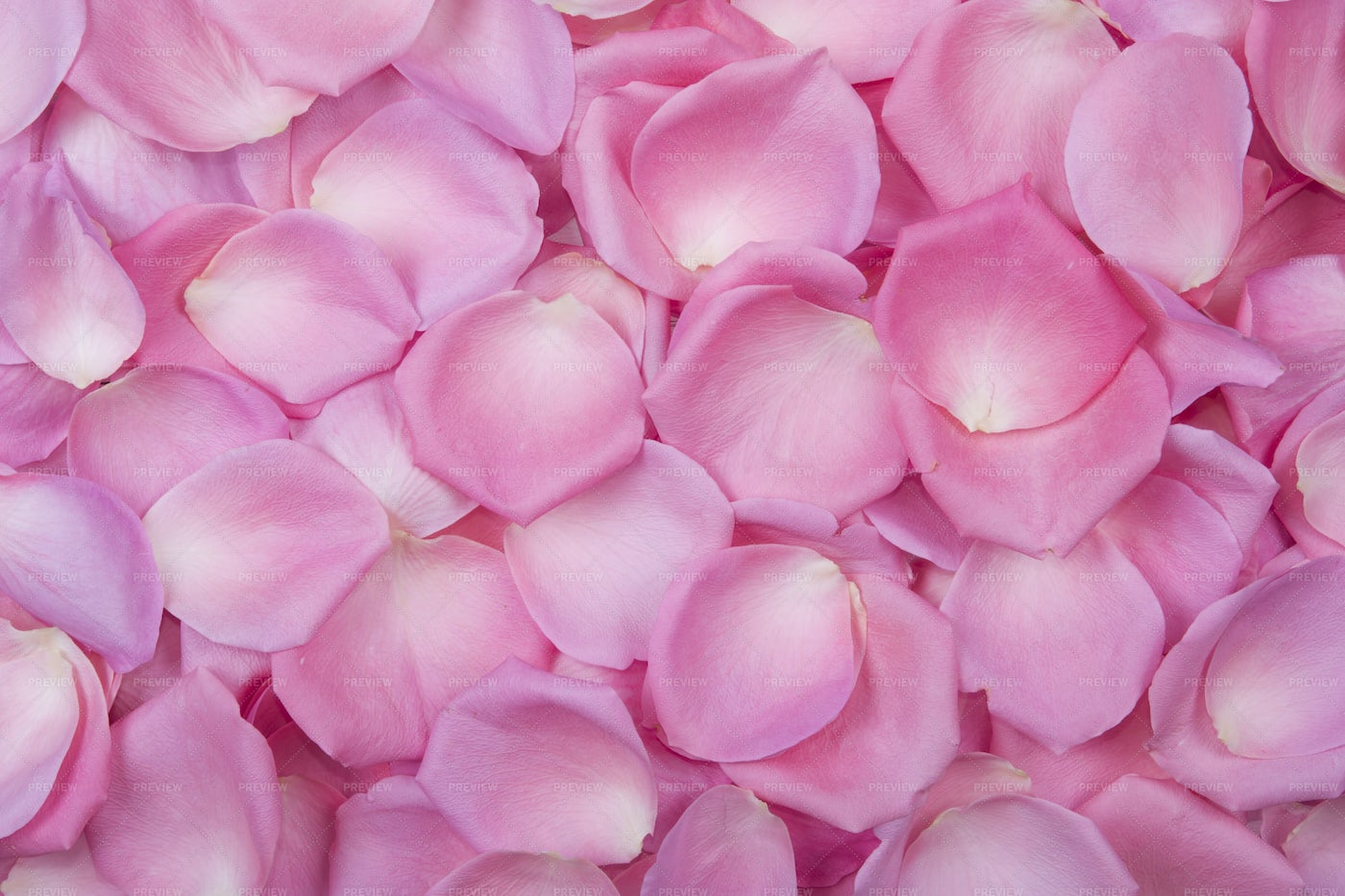 Background Of Pink Rose Petals: Stock Photos