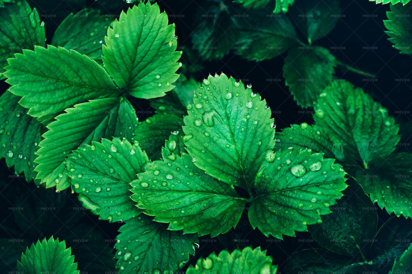 Strawberry Leaves: Stock Photos