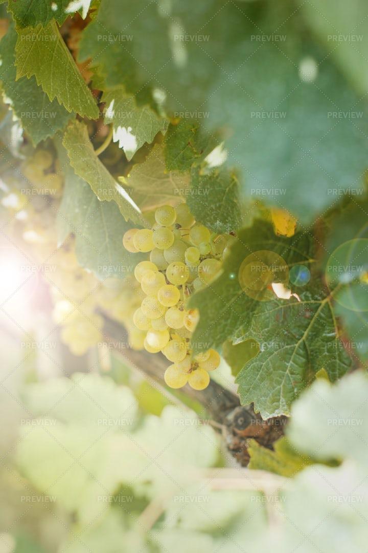 Ripe White Grapes: Stock Photos