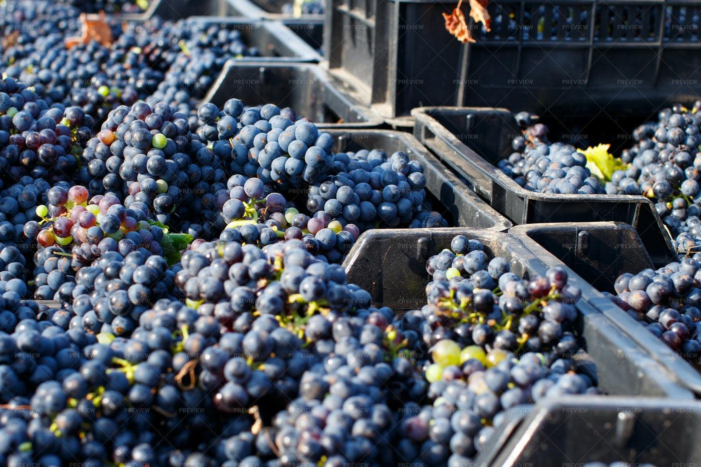 Grapes In Plastic Crates: Stock Photos