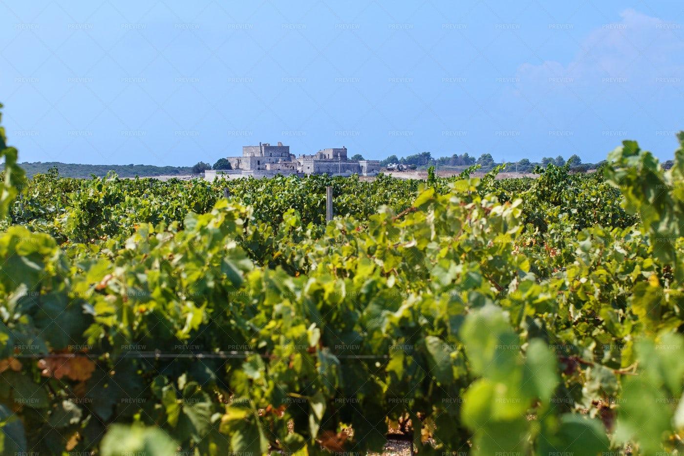 Vineyard In South Italy: Stock Photos
