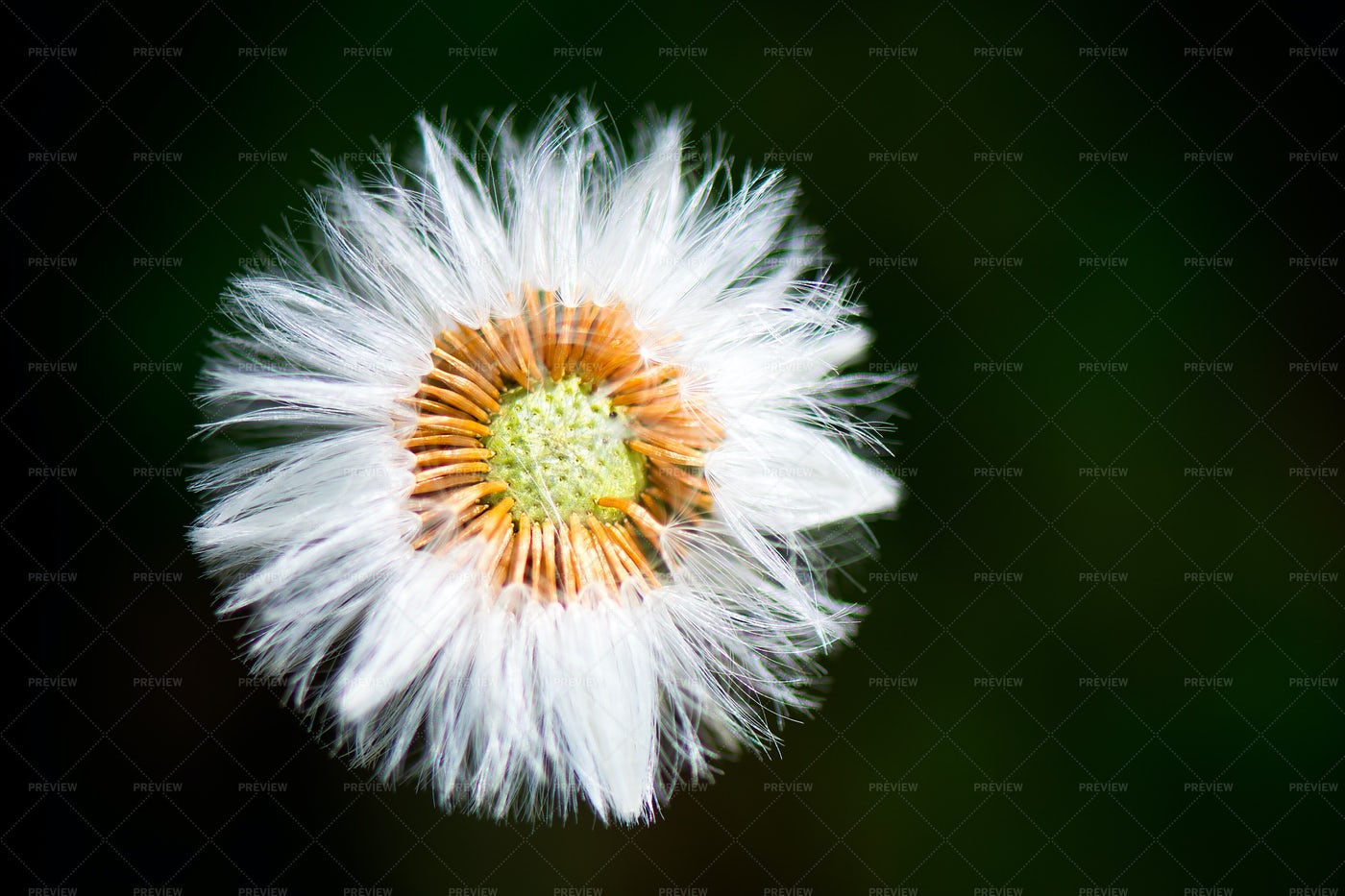 White Fluffy Flower: Stock Photos