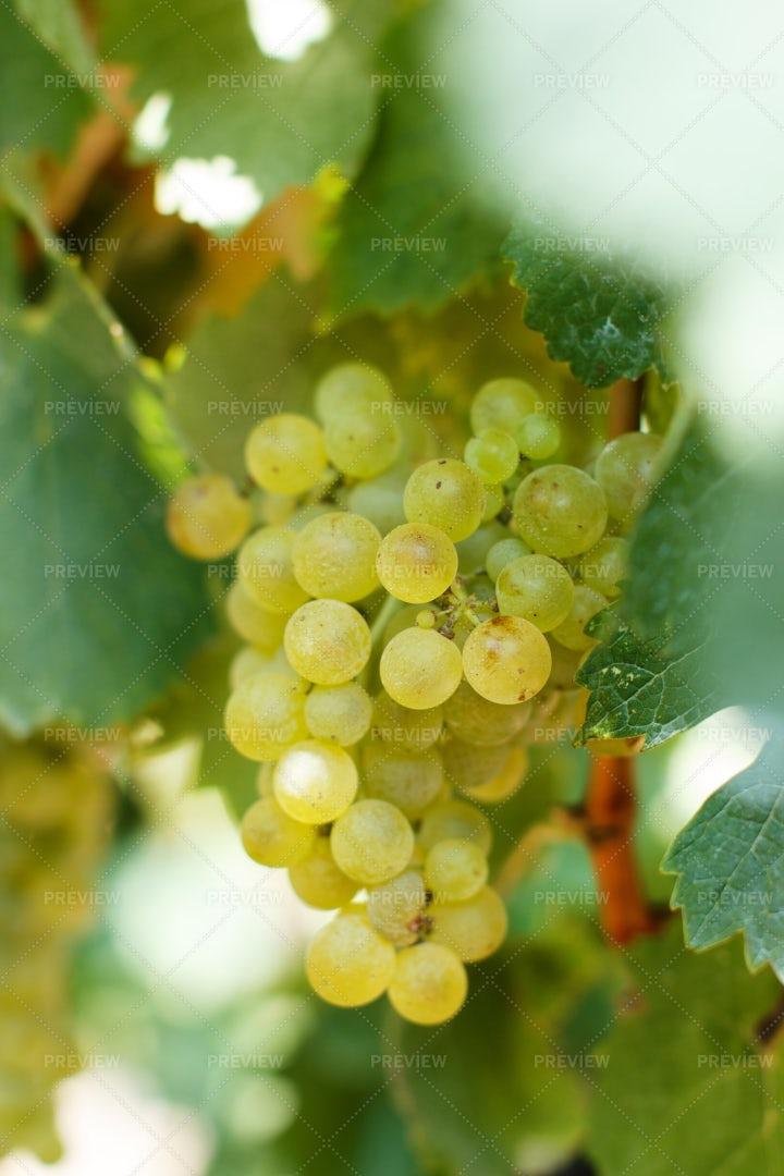 White Grapes Close Up: Stock Photos