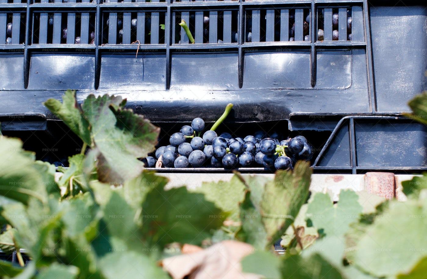 Grape Harvest: Stock Photos