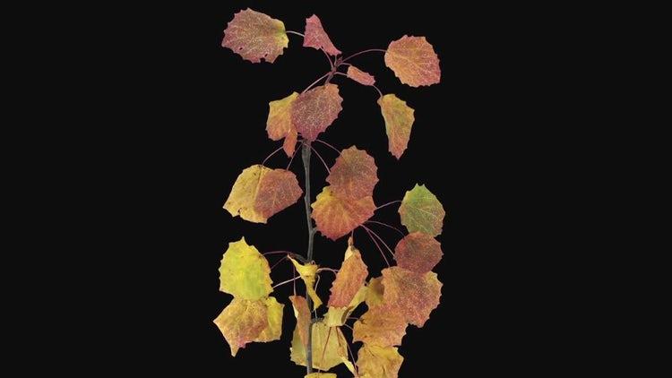 Beautiful Aspen Tree Leaves Dying: Stock Video