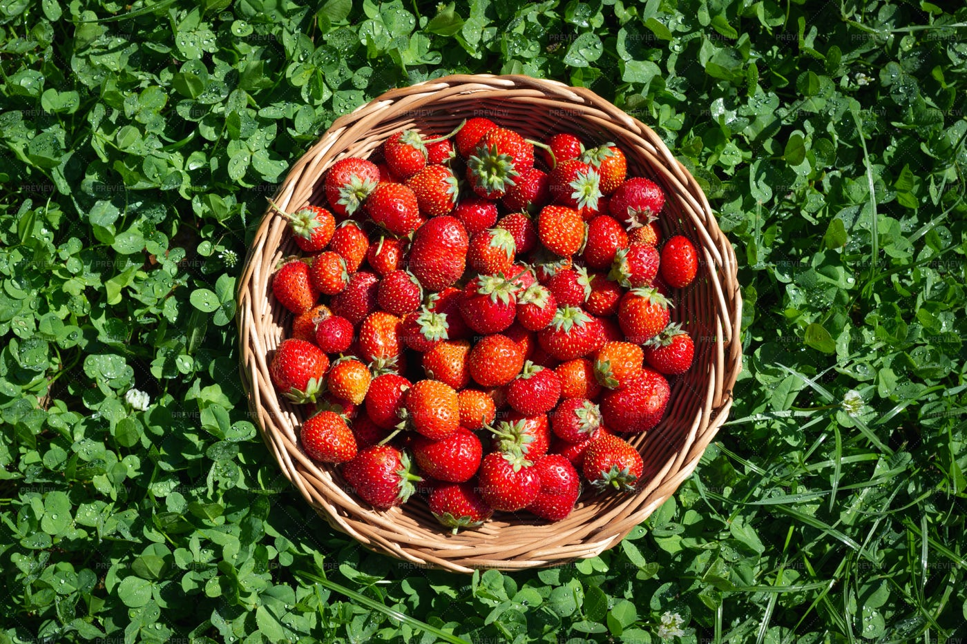 Harvested Strawberries: Stock Photos
