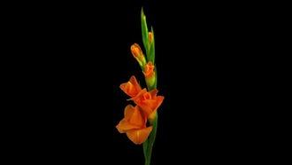 Orange Gladiolus Flower Opening: Stock Footage