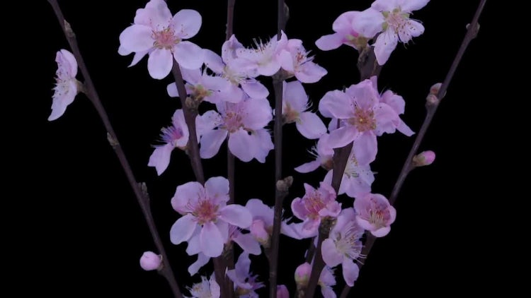 Cherry Willow Branch Blooming: Stock Video