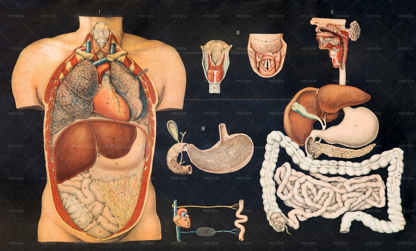 Vintage Anatomy Chart: Stock Photos