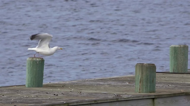 Seagull Taking Flight In Slow Motion: Stock Video