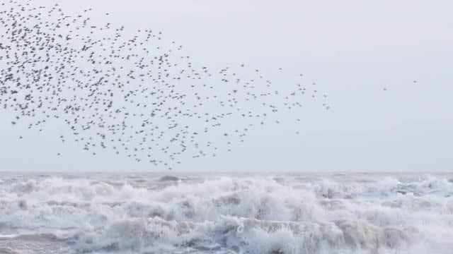 Starlings Flying Above Turbulent Ocean: Stock Video