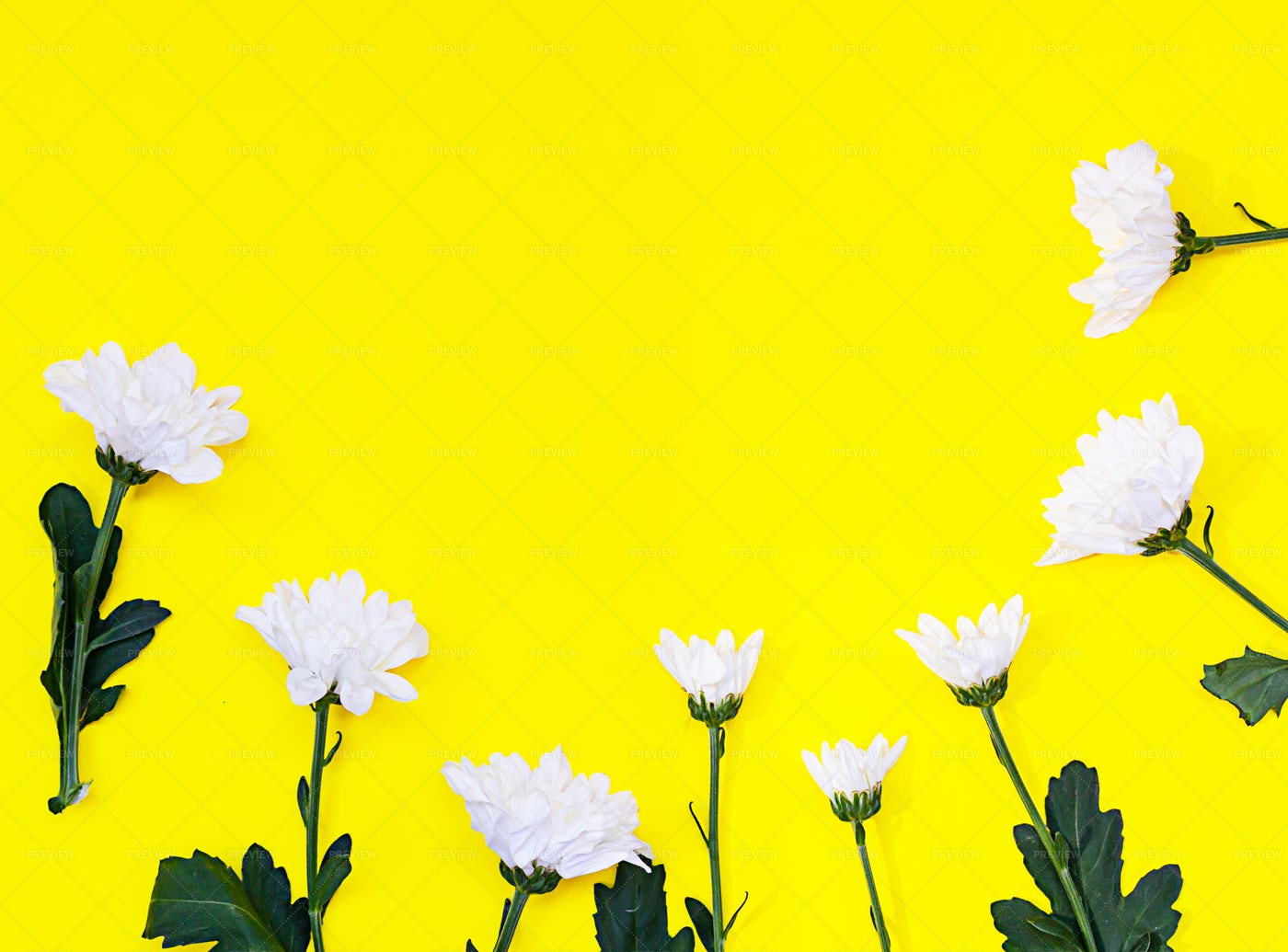 White Chrysanthemums Background: Stock Photos