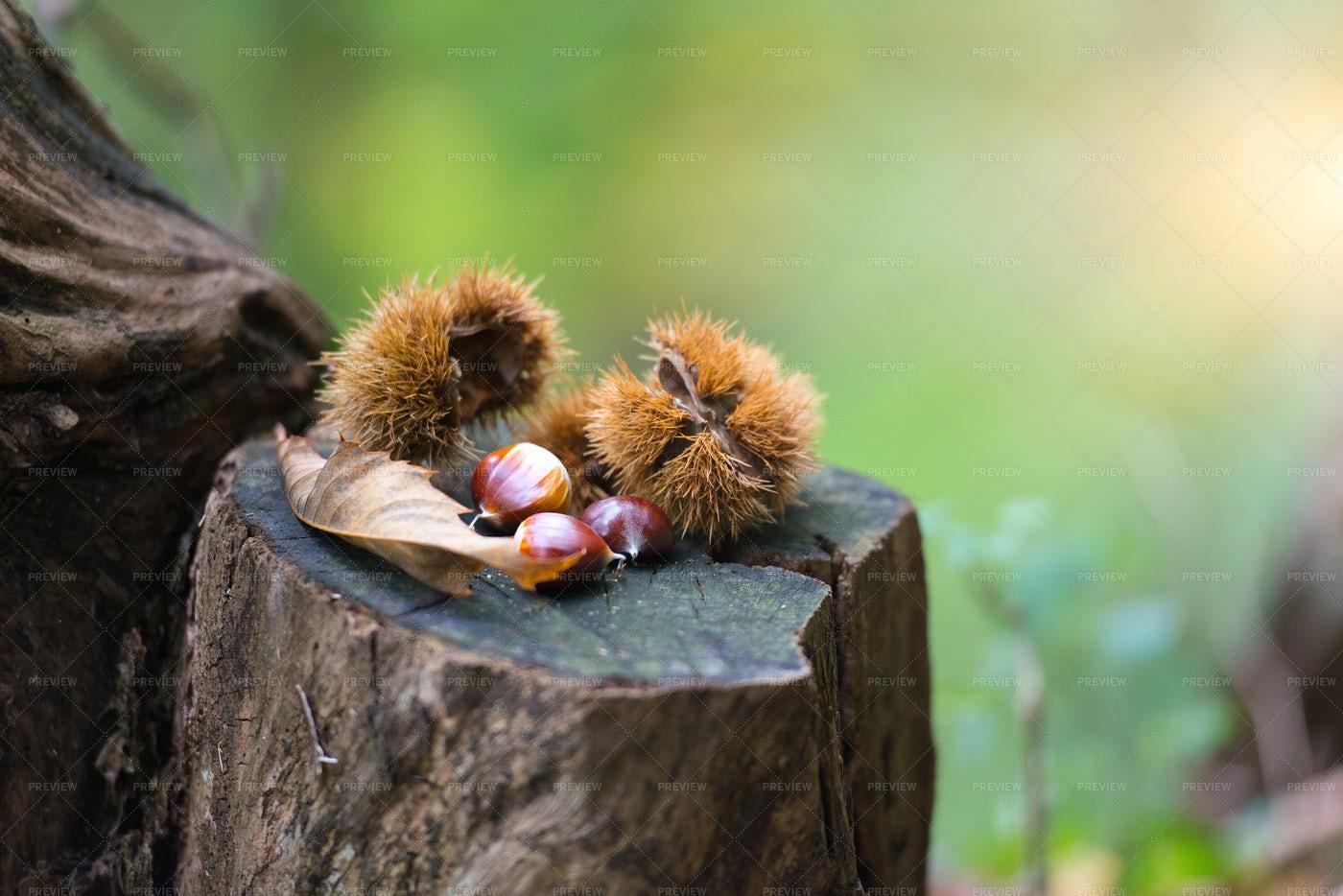 Chestnut Hedgehog: Stock Photos