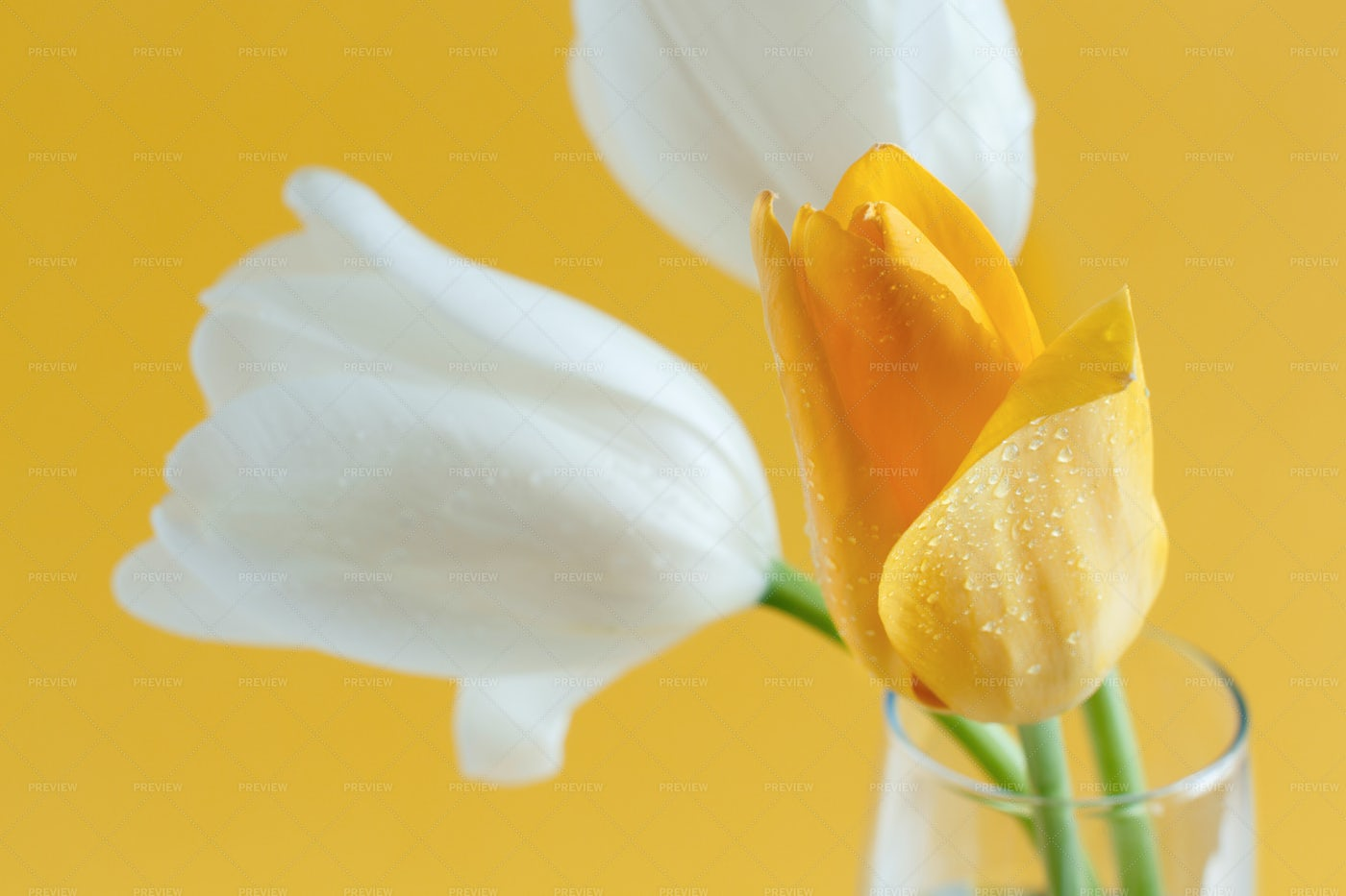 Yellow And White Tulips: Stock Photos