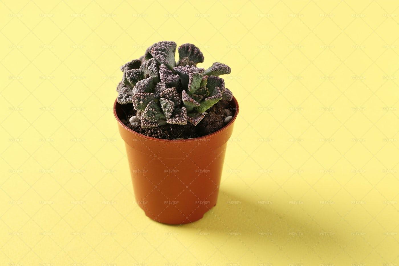 Succulent Titanopsis: Stock Photos
