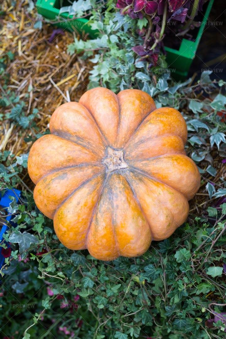 Autumn Pumpkin In A Garden: Stock Photos