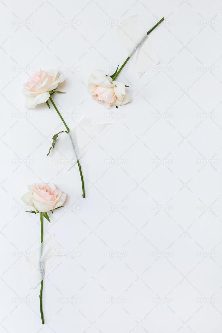 Light Pink Roses: Stock Photos