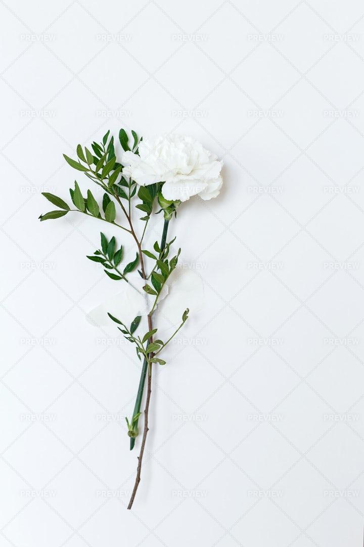 One Carnation: Stock Photos