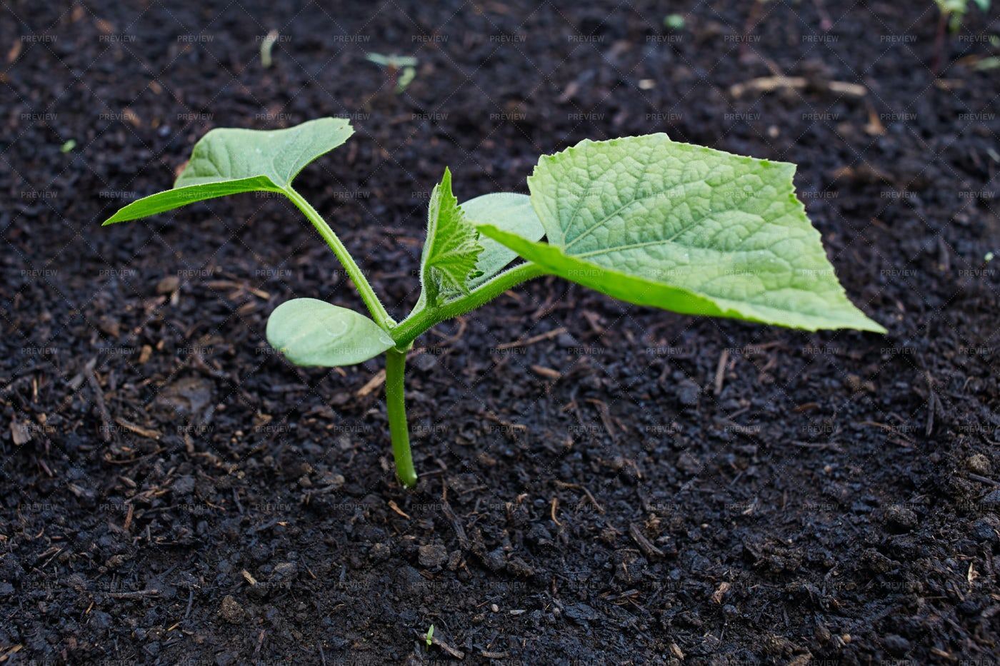 A Growing Cucumber Sprout: Stock Photos