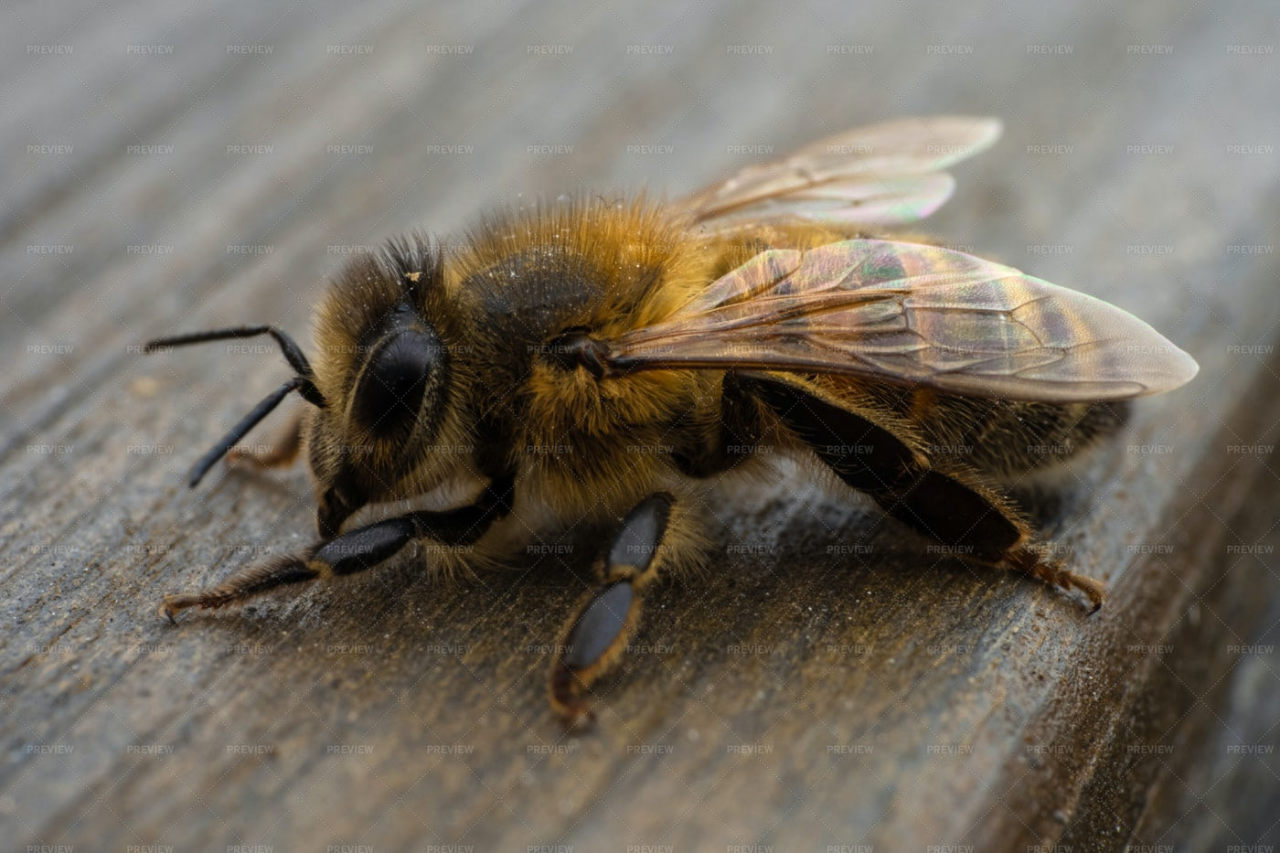 Honey Bee: Stock Photos