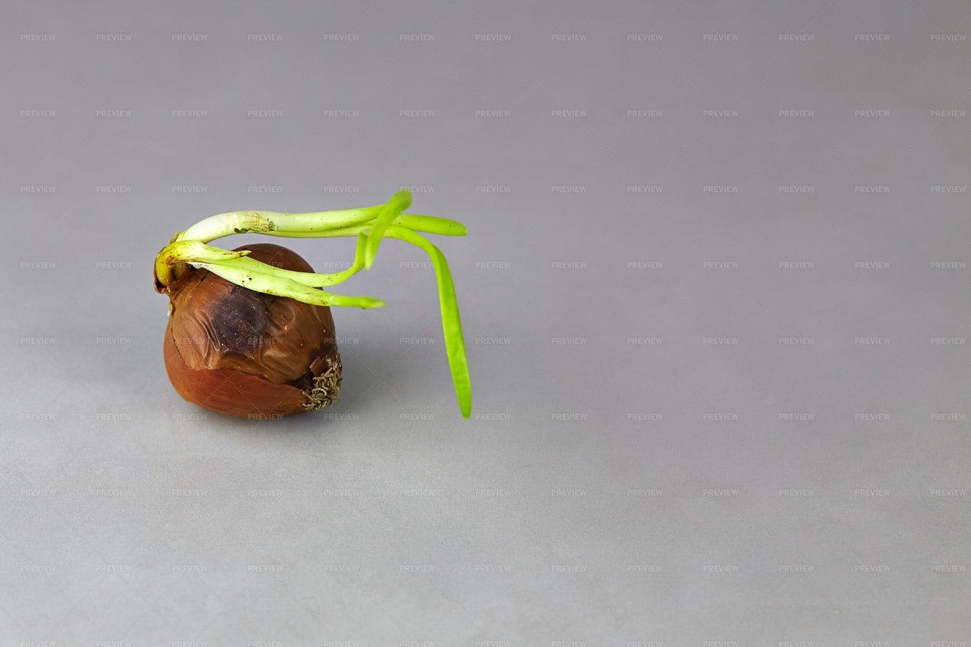 Rotten Onion: Stock Photos