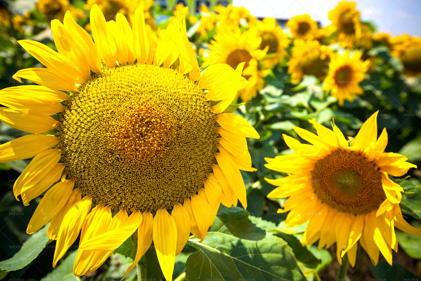 Sunflowers Field: Stock Photos