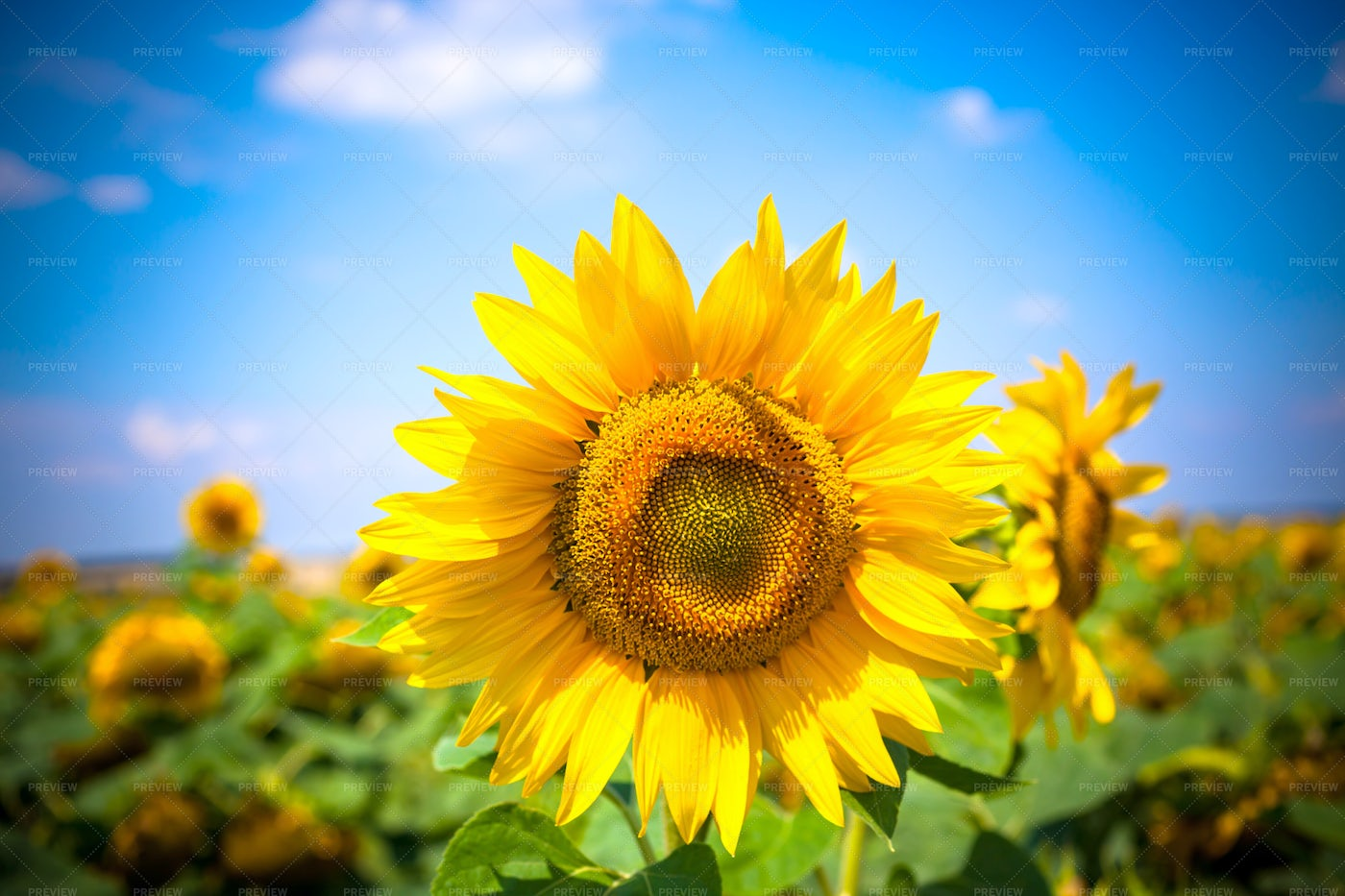 Sunflowers During Summer: Stock Photos