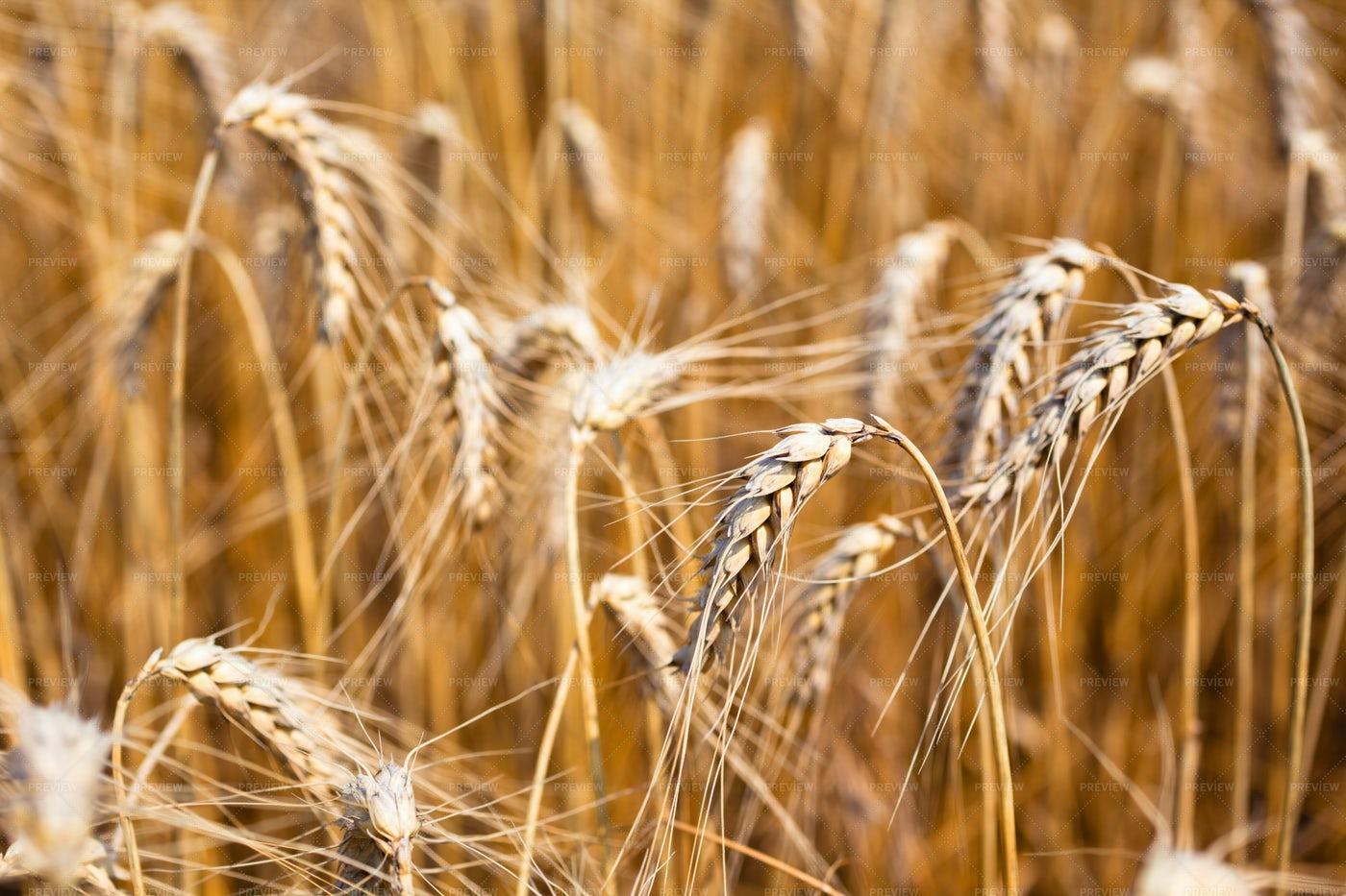 Wheat Field Background: Stock Photos