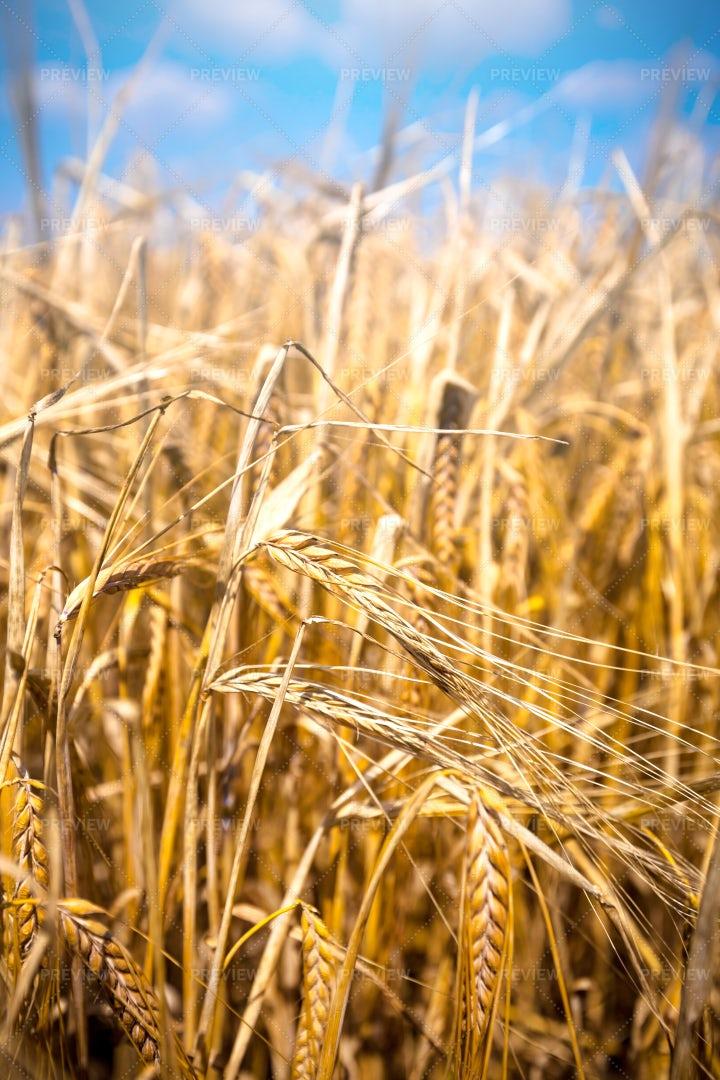 Wheat Field Close-Up: Stock Photos