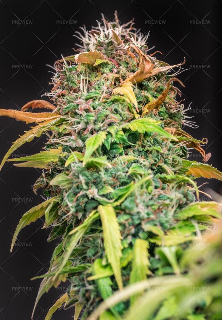 Cannabis Plant Flower On Black: Stock Photos