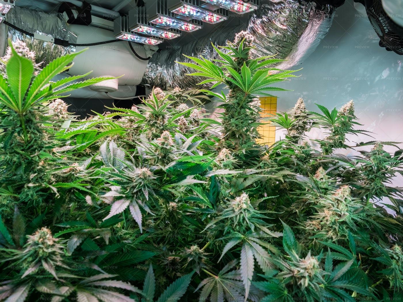 Cannabis Flowers In Grow Facility: Stock Photos